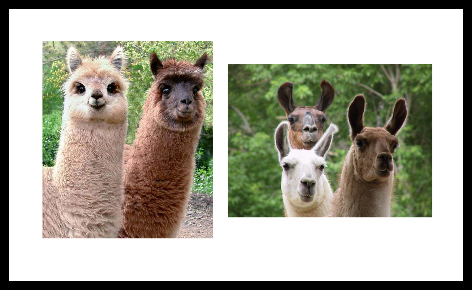 Llama Or Alpaca – Can You Tell The Difference?