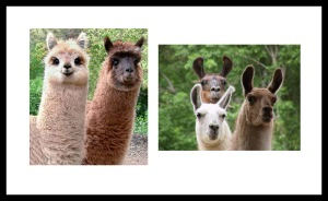 llamas and alpacas